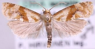 Rare moths found at Gwithian Green