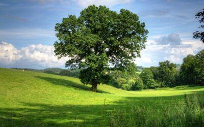 Oak tree saplings for the Parish